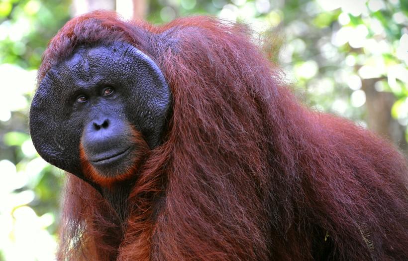 bornean-orangutan-endangered-820x524