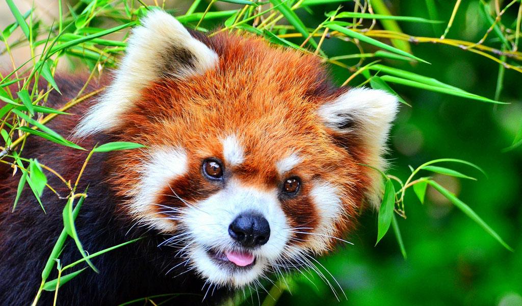 red-panda-2